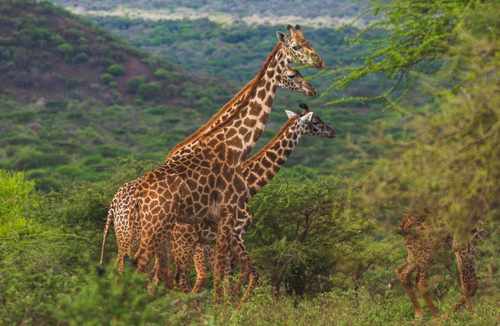 Maasai Giraffe Tonywild